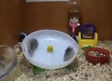 two-hamsters-one-wheel