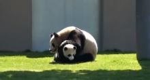 Wrestling-Panda-Bears